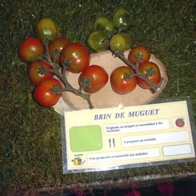Tomate Brin de Muguet