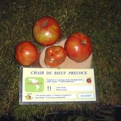 Tomate Chair de Bouf précoce
