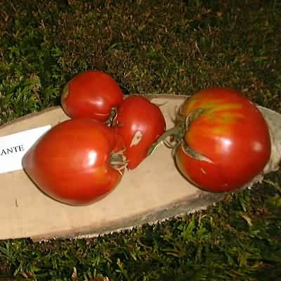 tomate Coeur de boeuf géante Reif Red