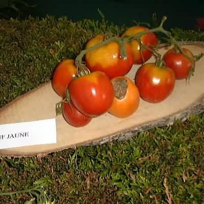 tomate Coeur de boeuf orange