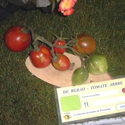 tomate De Berao, tomate arbre