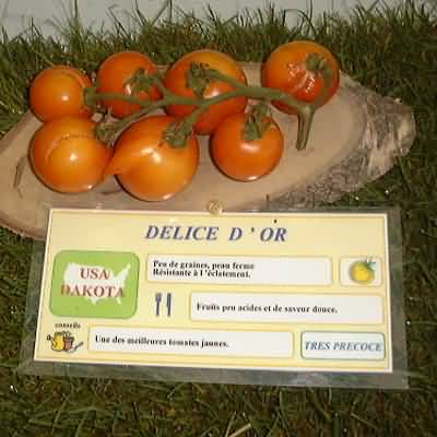tomate Délice d'Or