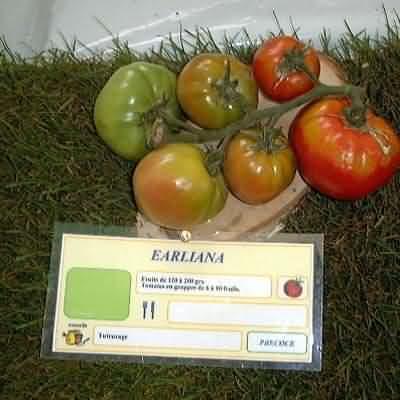 tomate Earliana