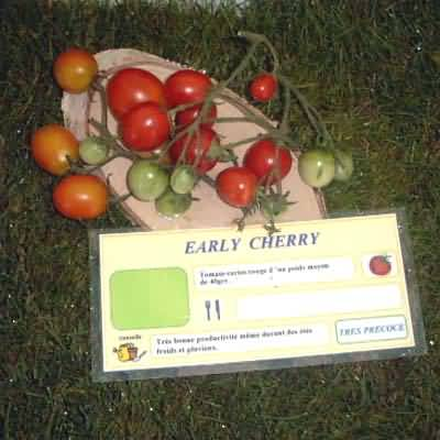 tomate Early Cherry