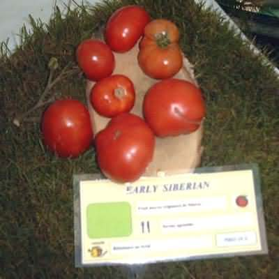 tomate Early Siberian