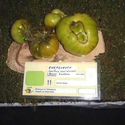 tomate Everqueen