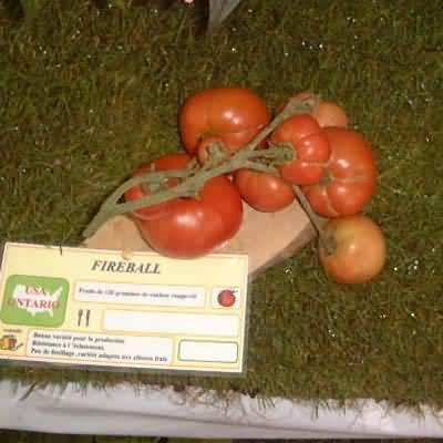 tomate Fireball