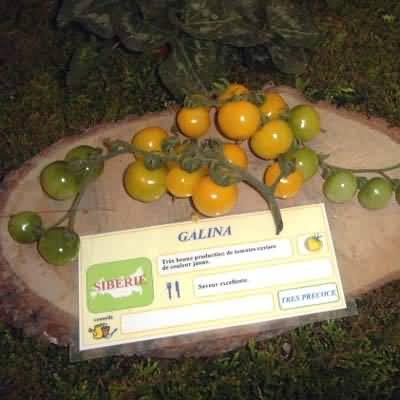 tomate Galina