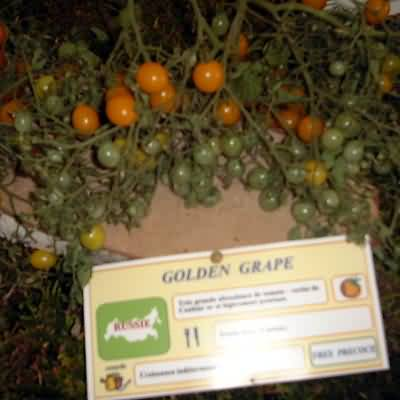 tomate Golden grappe