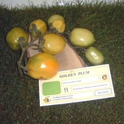 tomate Golden Plum