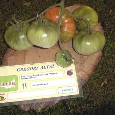 tomate Gregori Altaï