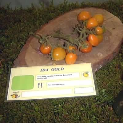 tomate Ida Gold