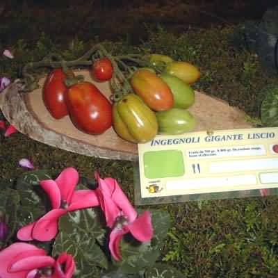 tomate Ingegnoli Gigante Liscio