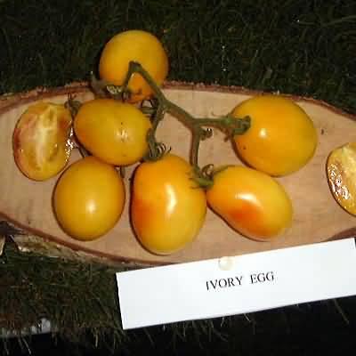 tomate Ivory egg