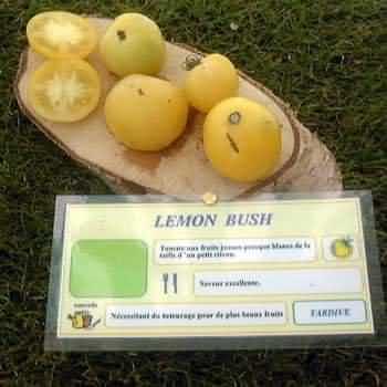 tomate Lemon Bush