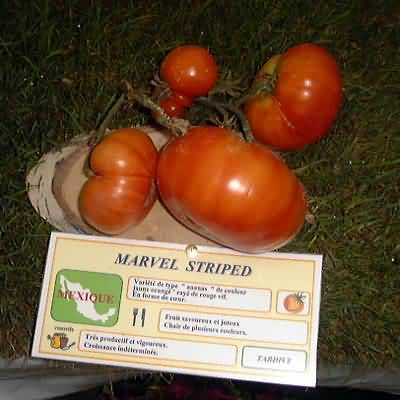 tomate Marvel Stripped