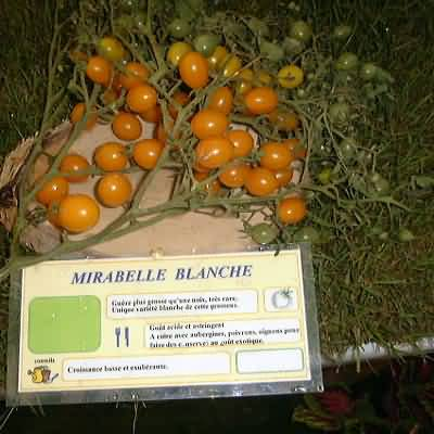 tomate Mirabelle blanche