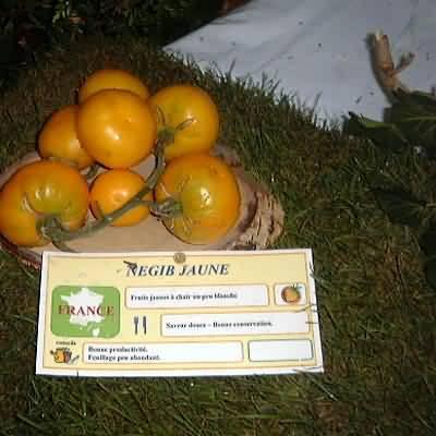tomate Negib jaune