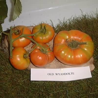 tomate Old Wyandolte