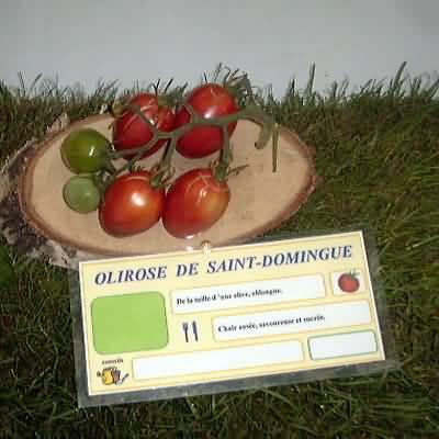 tomate Olirose de Saint Domingue