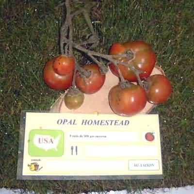 tomate Opal Homestead