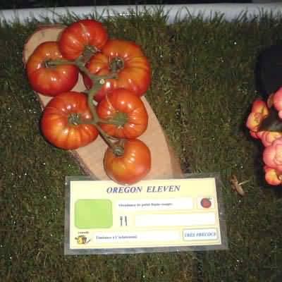 tomate Oregon Eleven