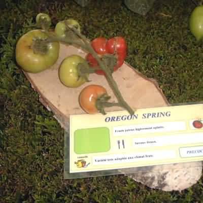 tomate Oregon Spring
