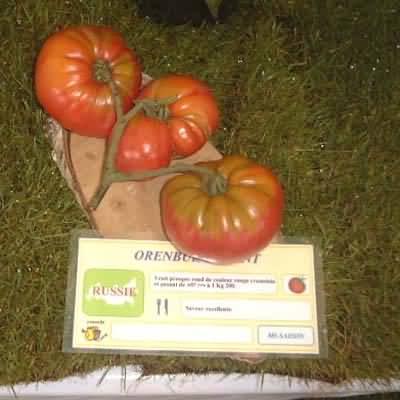 tomate Orenburg Giant