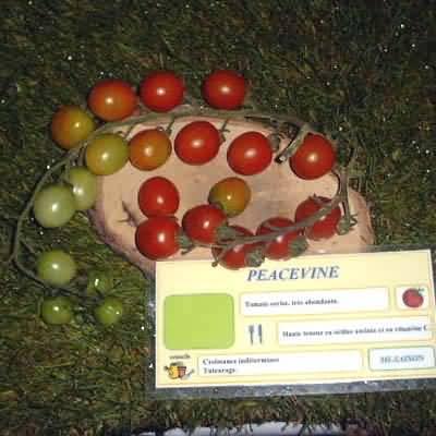 tomate Peacevine