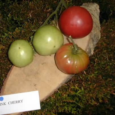 tomate Pearly pink cherry