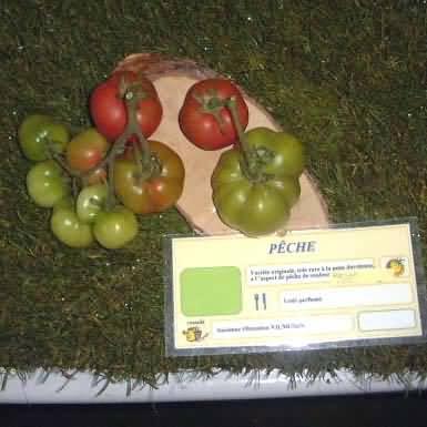 tomate Peche