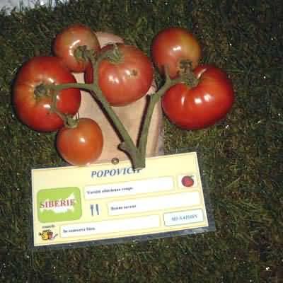 tomate Popovich