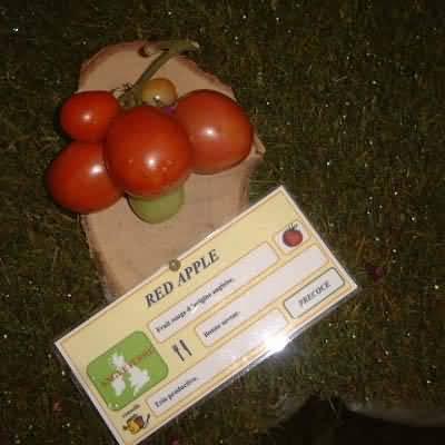 tomate Reed Apple