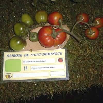 tomate Rose de Saint Domingue