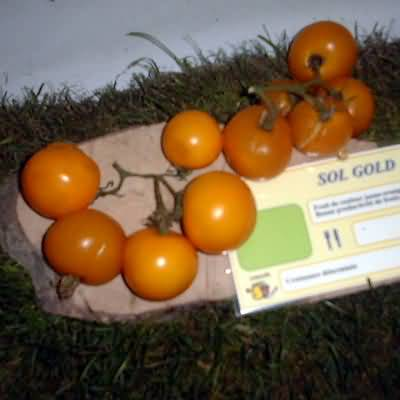 tomate Sol gold