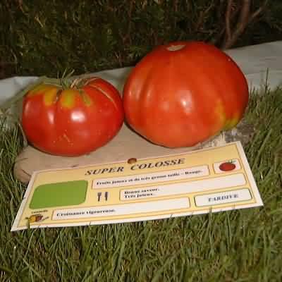 tomate Super Colosse