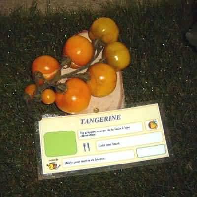 tomate Tangerine