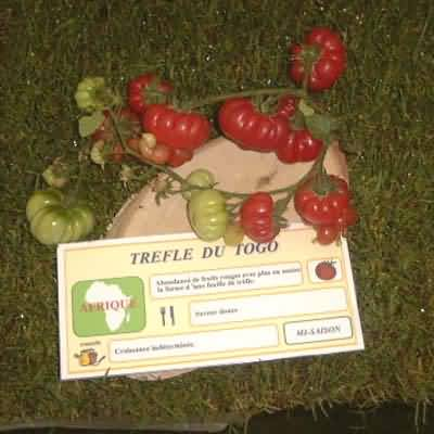 tomate Trefle du Togo