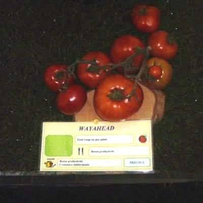 tomate Wayahead