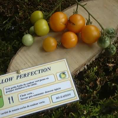 tomate Yellow perfection