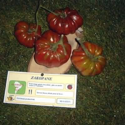 tomate Zakopane
